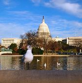A seagull perches on a cement wall by the water in front of the United States capitol building in Washington D.C. poster