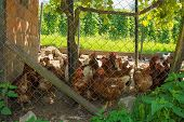 A brood of brown/red chickens in their fenced enclosure with coop in rural north west Slovenia poster