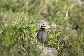 Bobwhite Quail hurring away from me to get into the brush poster