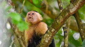 White-headed Capuchin (cebus Capucinus).  Medium Sized Monkey Of The Family Cebidae Subfamily Cebina