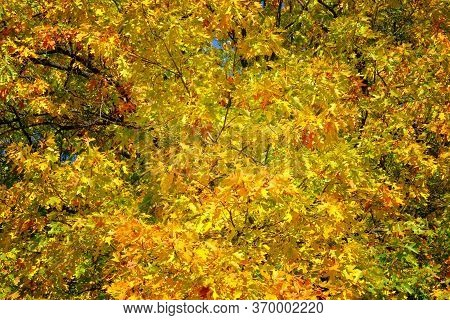 Orange And Gold Autumn Oak Leaves In Picturesque Park. Sunny Day In Fall. Warm Weather In Forest.