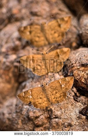 A Vertical Close Up Macro Photograph Of Three Brown Moths Sitting On The Branch Of An Ancient Baobab