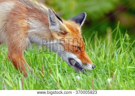 Red Fox During The Molting Period Carries Food In Its Mouth For Its Young, A Fox Caught A Mouse And