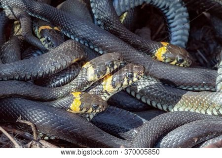 Many Snakes Intertwine Lie Basking In The Warm Rays Of The Sun, Close-up