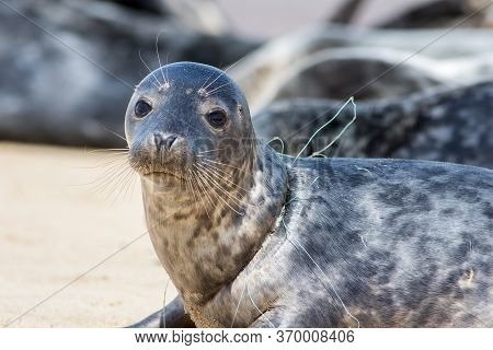 Seal From Horsey Colony  Uk With Fishing Net Line Caught Around Its Neck. Beautiful Animal Suffering