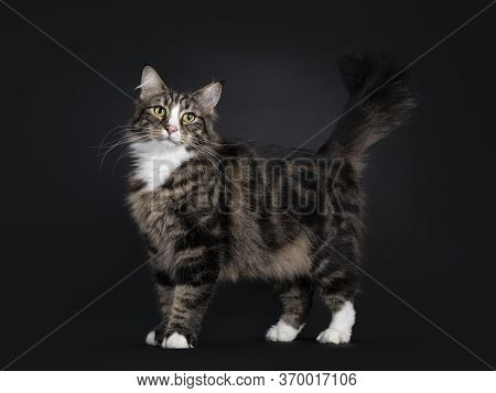 Majestic Young Adult Black Tabby Blotched Norwegian Forestcat, Standing Side Ways. Looking In Direct