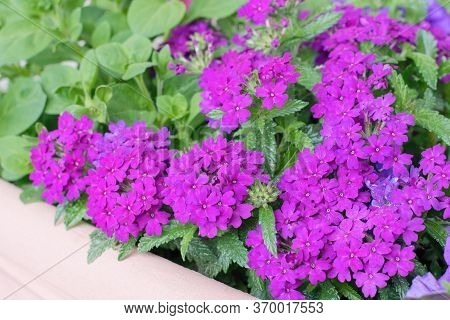 Purple Verbena Flowers Planted In The Pot, Summer Teracce Or Window Decoration.