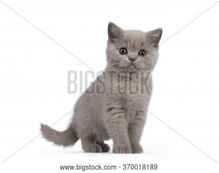 Lilac British Shorthair Kitten On White Background