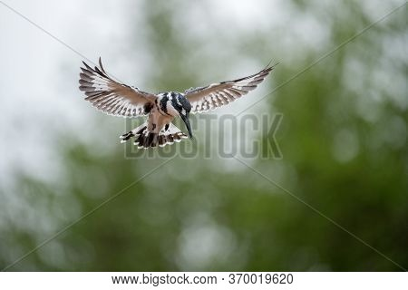 A Close Up Photograph Of A Hovering Pied Kingfisher
