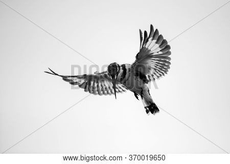 A Close Up Black And White Photograph Of A Hovering Pied Kingfisher