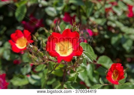 Red, Pink And Yellow Rosa Cocktail Or Meimick Shrub Roses . Red Rose Cocktail Single-flowered Shrub