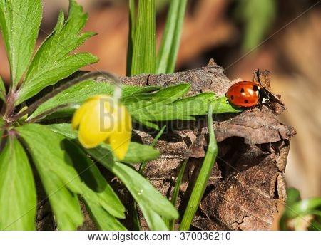 Ladybug Running Along On Blade Of Green Grass.