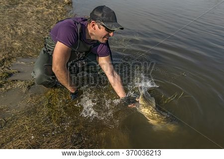 Fisherman Release Zander Fish With Splashing. Success Walleye Fishing At Wild River