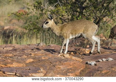 Sturdy Female Klipspringer Closeup Standing Tiptoe On A Rock In Mapungubwe, South Africa