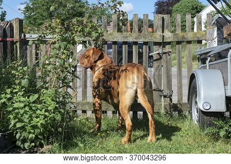 French Mastiff Dogue De Bordeaux Keep Watch On Site In Front Of A Wooden Gate
