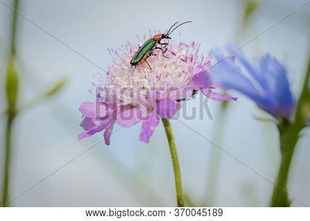 Emerald Green Beetle, Spanish Fly, Lytta Vesicatoria, Feeding From A Wild Magenta Flower Making Natu