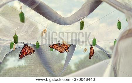 Monarch Butterflies Emerging In Butterfly Raising Habitat. Several Chrysalises Hanging From The Cage
