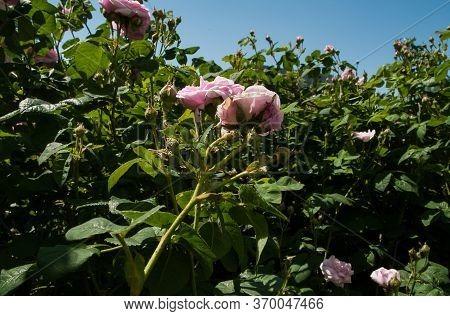 Plant Disease. Green Aphid (macrosiphum Rosae) On Rose Hips (rosa Canina). Sunny Day. Selective Focu