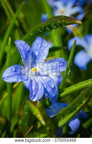 Closeup Of Blooming Blue Scilla Luciliae Flowers With Raindrops In Sunny Day. First Spring Bulbous P