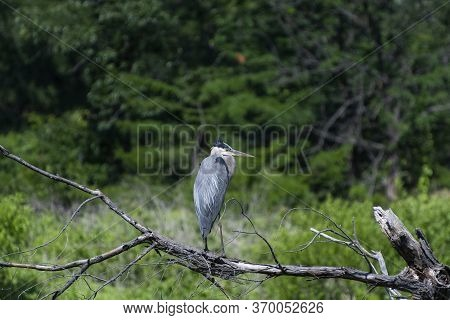 A Solitary Great Blue Heron Standing On A Branch In A Dead Tree With Woods In The Background And Its