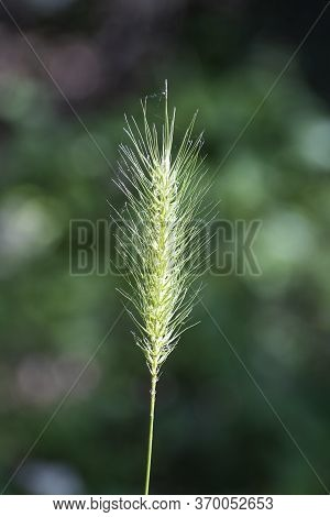 Long, Skinny Stem Of Wild Rye Grass Covered In The Spiked Seeds Shining In The Sunlight On A Spring
