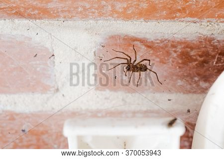 Domestic Or House Spider, Tegenaria Domestica, Inside The Porch Of A Cottage, On Her Web Between A W