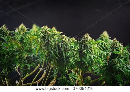 Branches Of Medical Marijuana With Flower Bud Sites Isolated On Black