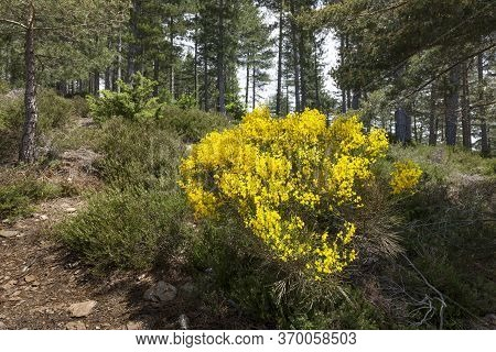 Blooming Genista Plants In The Cevennes Area In France, Europe