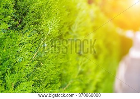 Green Hedge Of Thuja Trees. Green Hedge Of The Tui Tree. Nature, Background. The Wall Consists Of A