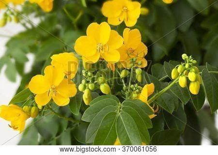 Yellow Senna (cassia Corymbosa) Flowers In Spring
