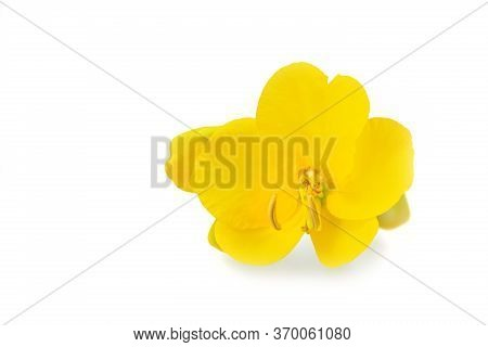 Senna (cassia Corymbosa) Flower Isolated On White