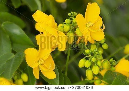 Senna (cassia Corymbosa) Flowers, Shot With Shallow Dof
