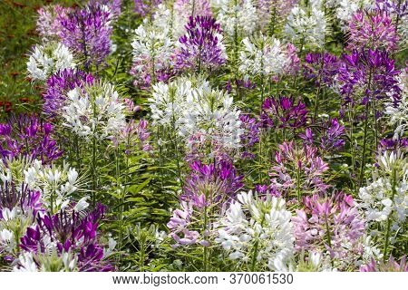 Beautiful Cleome Spinosa Flowers In The Garden