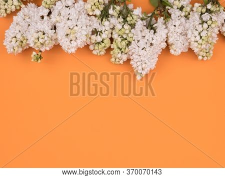White Lilac On Orange Background. Spring Flowers.