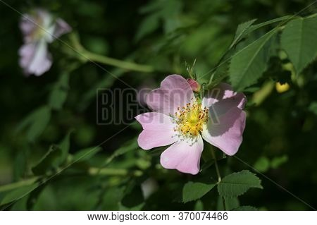 Wild Rose Flower With Pale Pink Petals, Yellow Pollen And A Shiny Stigma Between Green Leaves, Fragr
