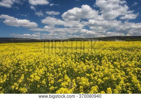 Field Of Rapeseed, Canola Or Colza In Latin Brassica Napus. Rapeseed Is Plant For Green Energy And G