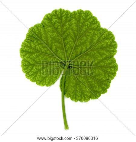 Geranium Plant (geraniales) Leaf Over White