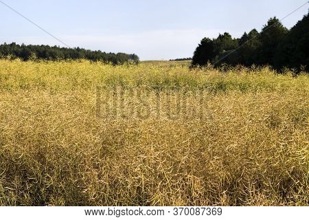 Field Full Of Rapeseed In Late Summer Or Early Autumn With The Ripened Harvest, On The Background Of