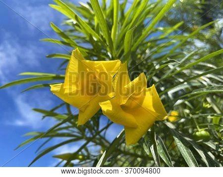 Yellow Cascabela Thevetia Flower In Nature Garden