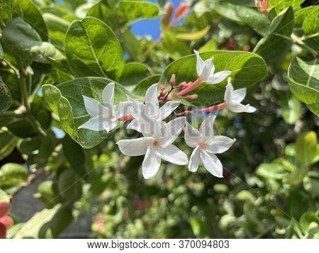 Close Up White Karonda Flower In Garden