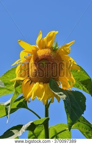 Very Tall Sunflower With Vibrant Yellow Flower Petals And A Plush Rounded Central Floret Pincushion