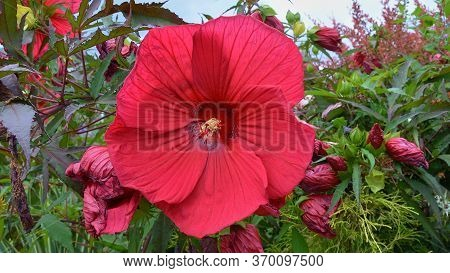 Giant Red Hibiscus Flower In Bloom With Natures Amazing Detail On Display In The Stamens And Pistols