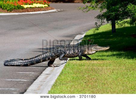 Gator Crossing A Road