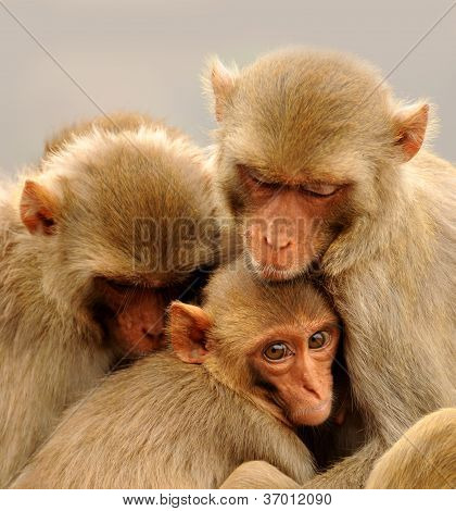 family of monkey