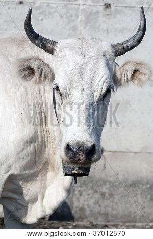 Close-up Of A Cow