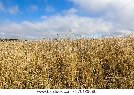 A Common Agricultural Field Before The Rapeseed Harvest For Food, Rapeseed Oil Is Made, And Straw Is