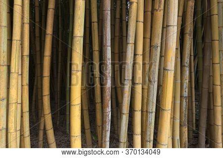 Fresh Brown Bamboo In A Bamboo Garden