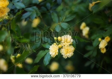 Beautiful Yellow Bush Rose-rosa Banksiae Blooms In The Spring In The Garden. Rosa Banksiae Is A Spec