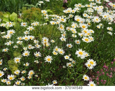 Beautiful Meadow In Springtime Full Of Flowering Daisies With White Yellow Blossom And Green Grass -
