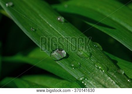 Macro Photo Background Dew Drop On A Green Blade Of Grass With High Contrast. Drop Of Water On An Ob
